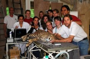 Ce projet «guépards» a vu le jour grâce à la collaboration du Zoo de la Palmyre et l'aide précieuse de son vétérinaire le Dr. Thierry Petit.  (2010)