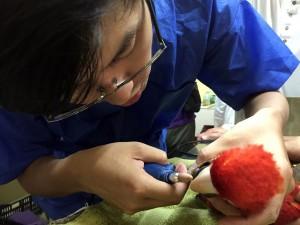 Chirurgie du bec chez un Ara